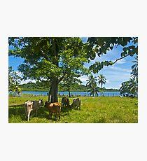 Cows. Photographic Print