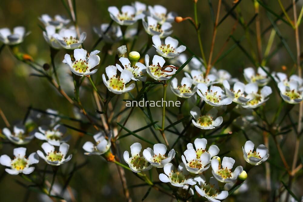Chamelaucium uncinatum by andrachne