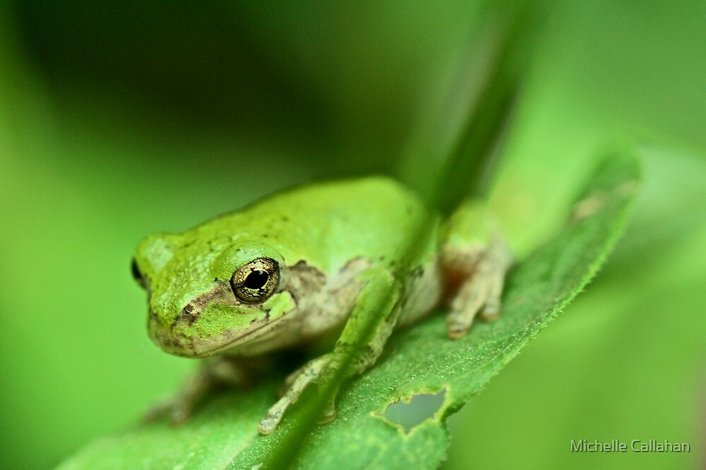 Green Frog by Michelle Callahan