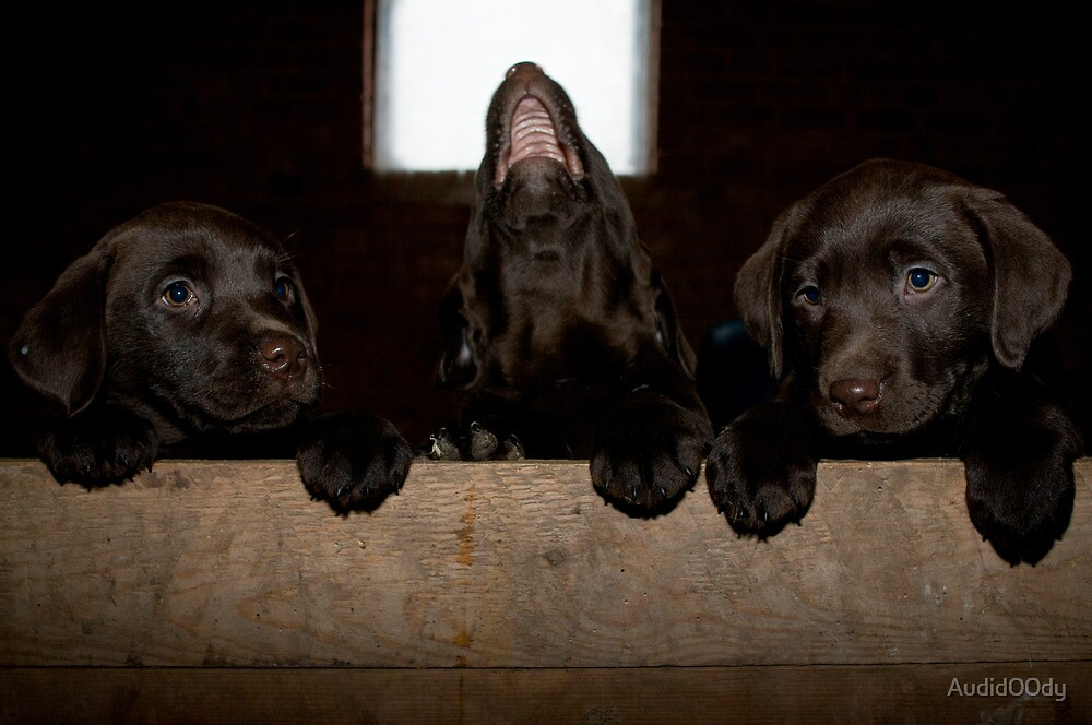 Three little Labs by Audid00dy