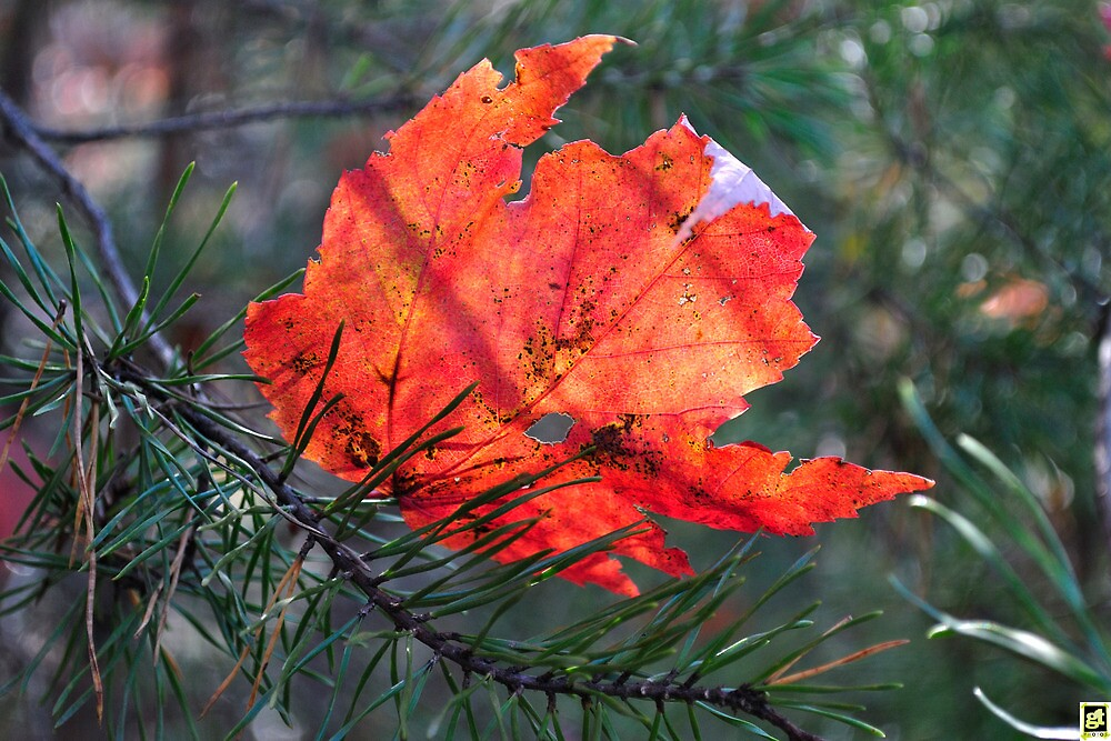 Fall Leaf in the Branches by George  Taylor