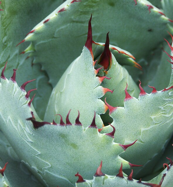 Agave, 1 by tenzil