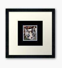 Siamese Calico  Framed Print