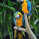 Blue & Yellow Macaws - Singapore. by Ralph de Zilva