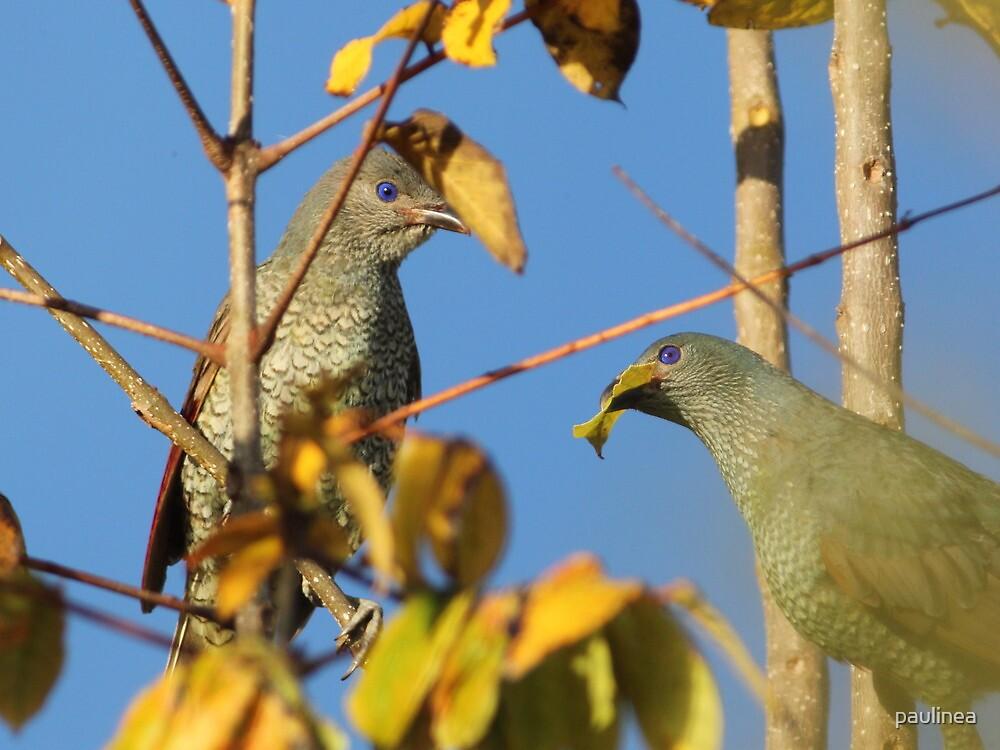 Satin Bowerbirds by paulinea