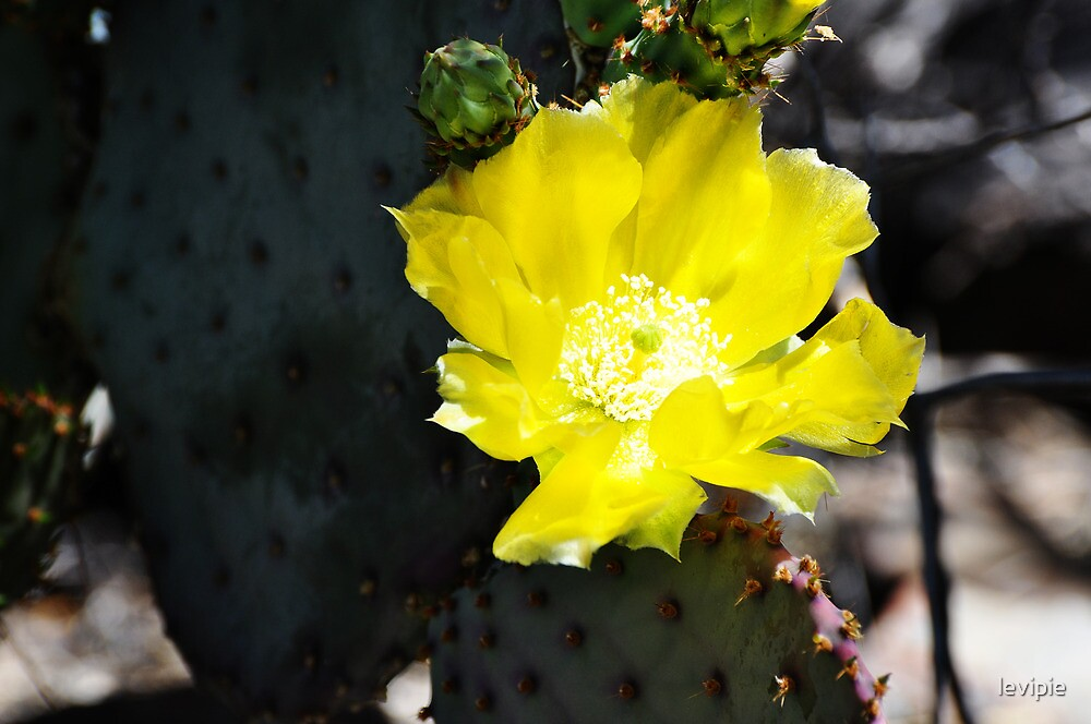 Prickly Pear Bloom by levipie