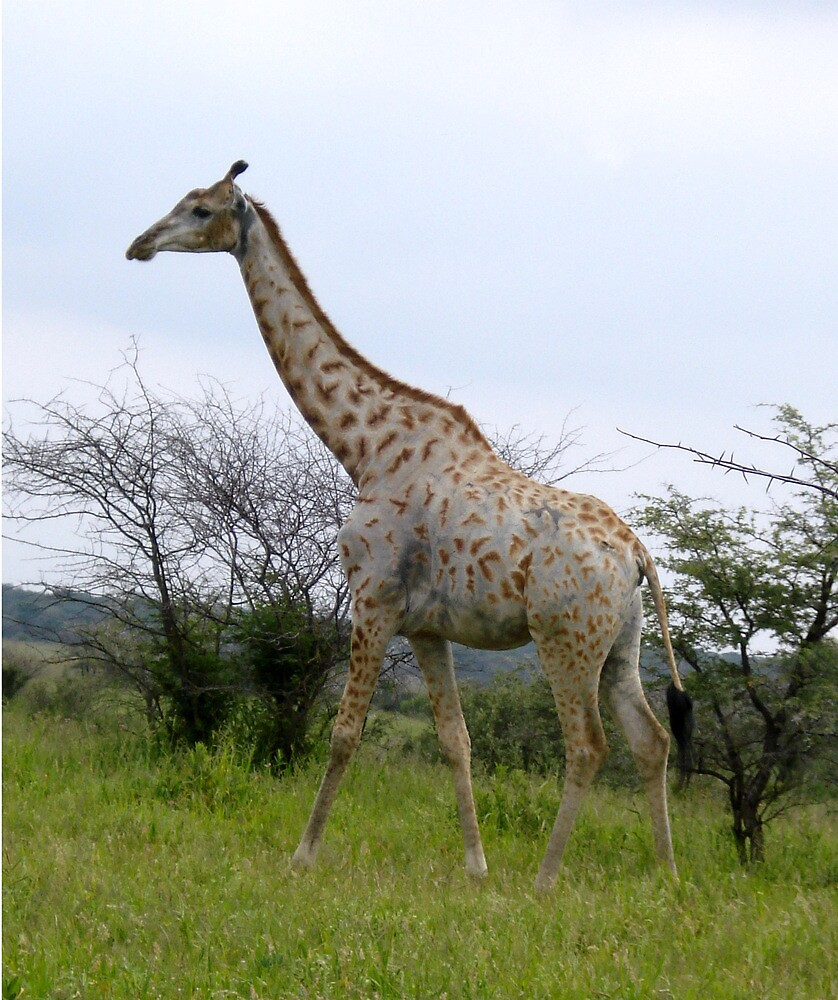 Rotschild Giraffe - Khama Nature Reserve, Botswana, Africa by Irene  van Vuuren