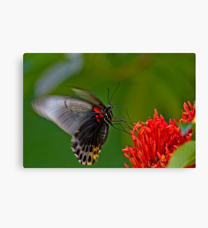 Bali Butterfly 2 Canvas Print