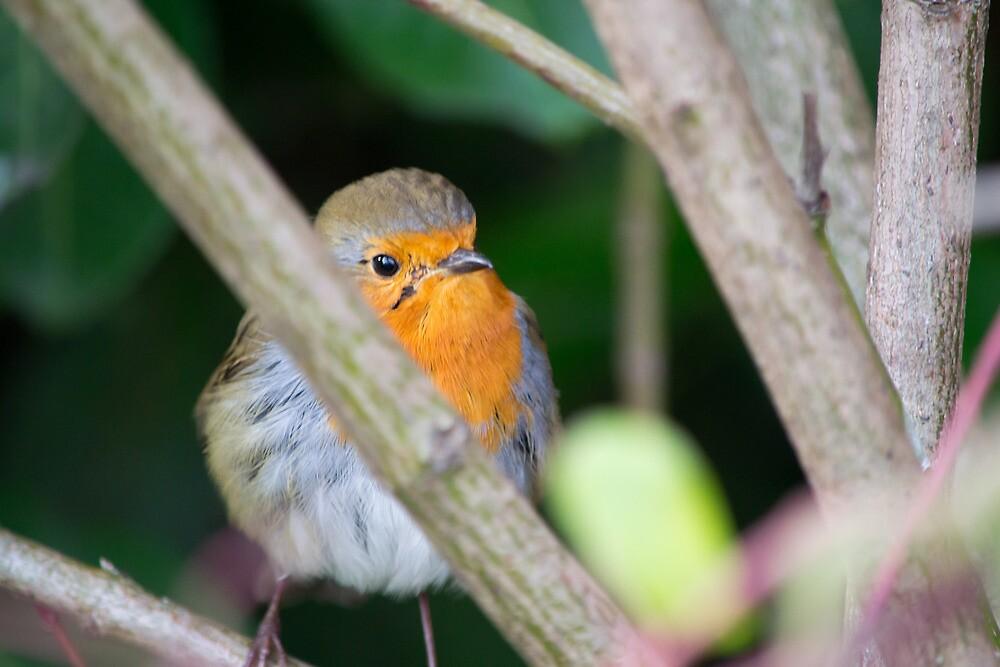 Robin by Paul Spear