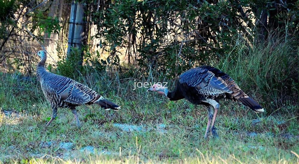 Wild Turkey by joevoz