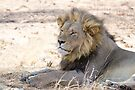 Black-maned Lion by Will Hore-Lacy