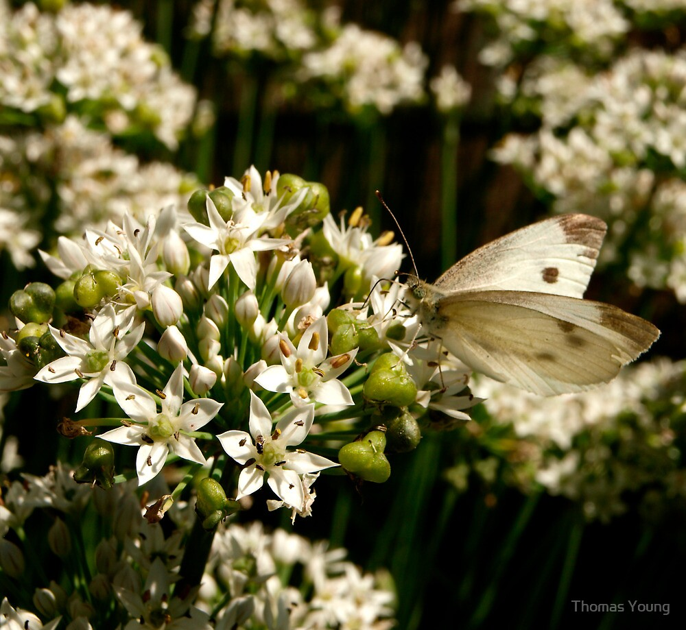 Cabbage White 2 by Thomas Young