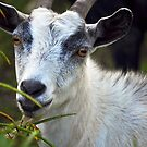 Billy Goat by joevoz