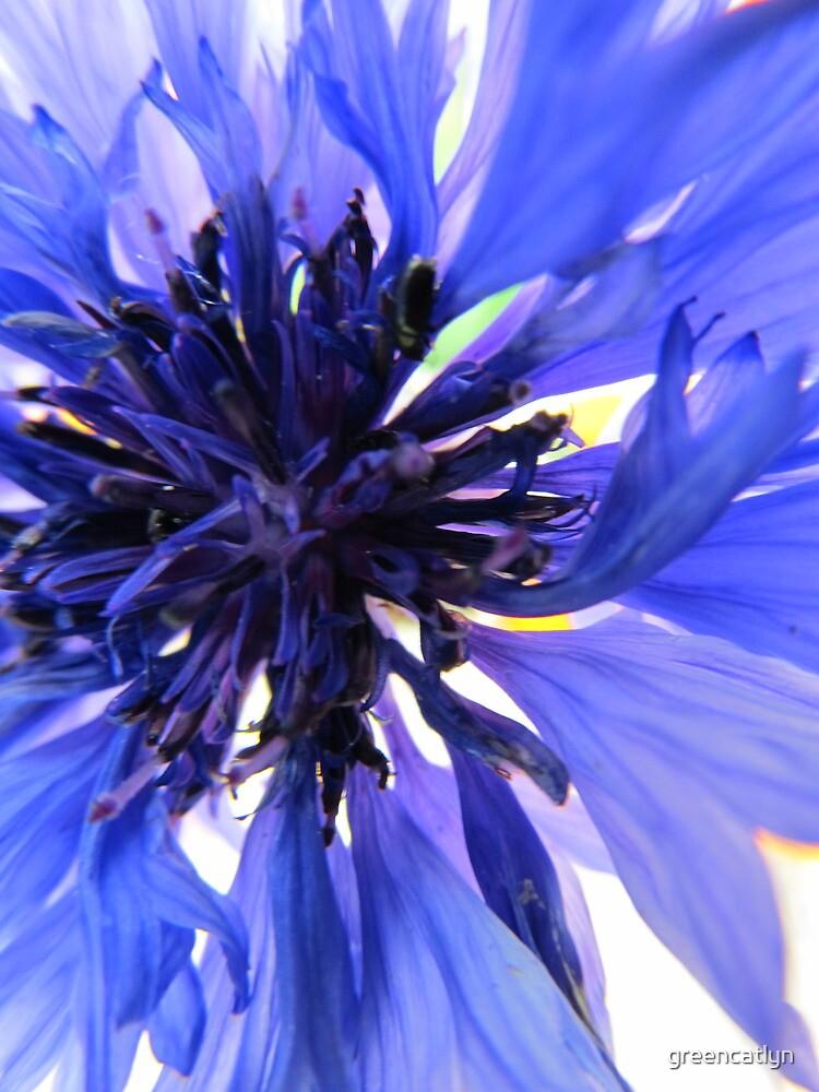 Cornflower by greencatlyn