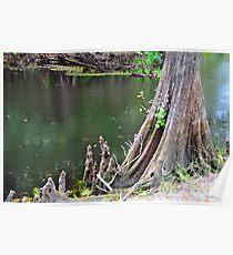 Cypress Tree Stump Poster