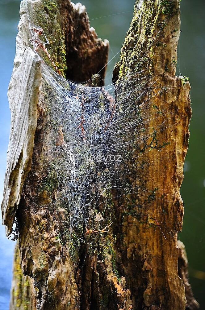 Cypress Tree Stump with Spider's Web by joevoz
