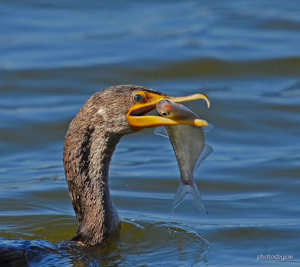 Cormorant by photosbyjoe