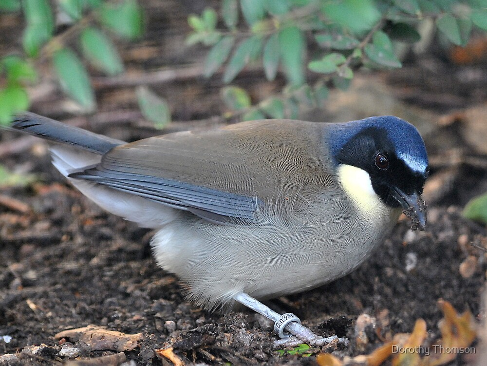 Blue-Crowned Laughing Thrush by Dorothy Thomson