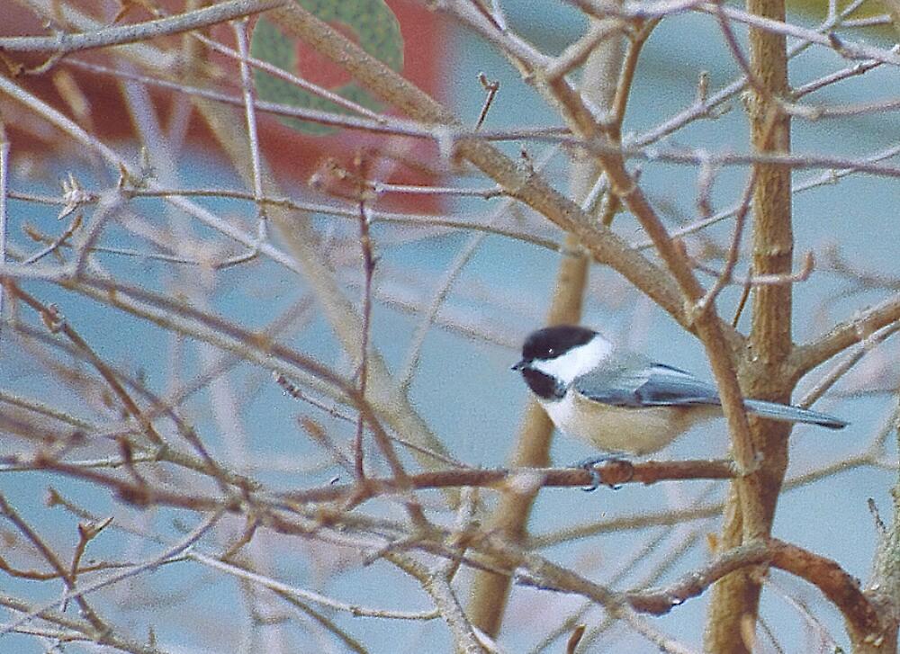 Winter Chickadee by perpetualphoto