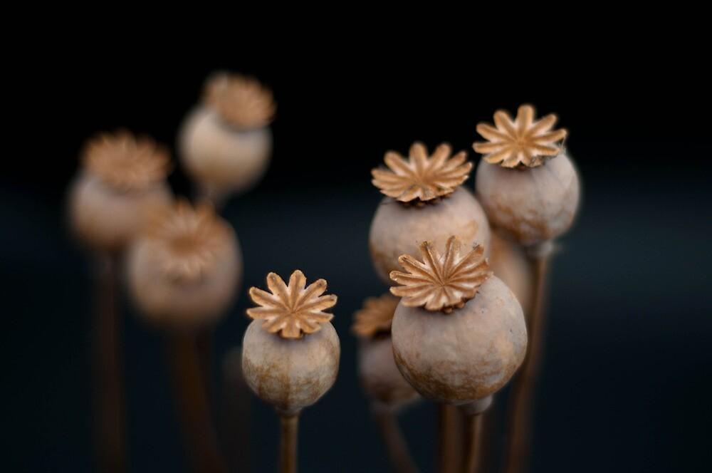 Poppy seed pods by Darren Taylor