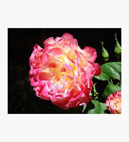 Rose Flower Art Print Big Pink Roses Floral Photographic Print