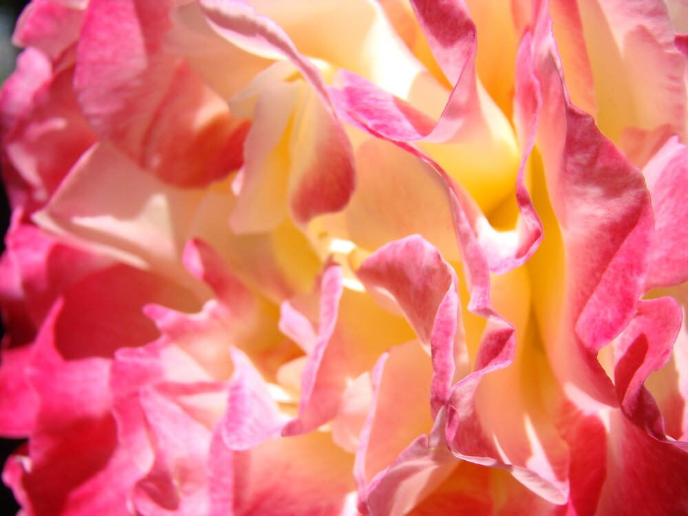 Pink White Rose Flower macro Fine Art Prints by BasleeArtPrints