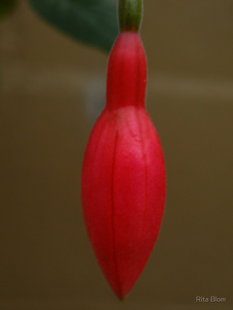 'A CHRISTMAS BAUBLE ALL AGLOW!'  fuchsia bud. by Rita Blom