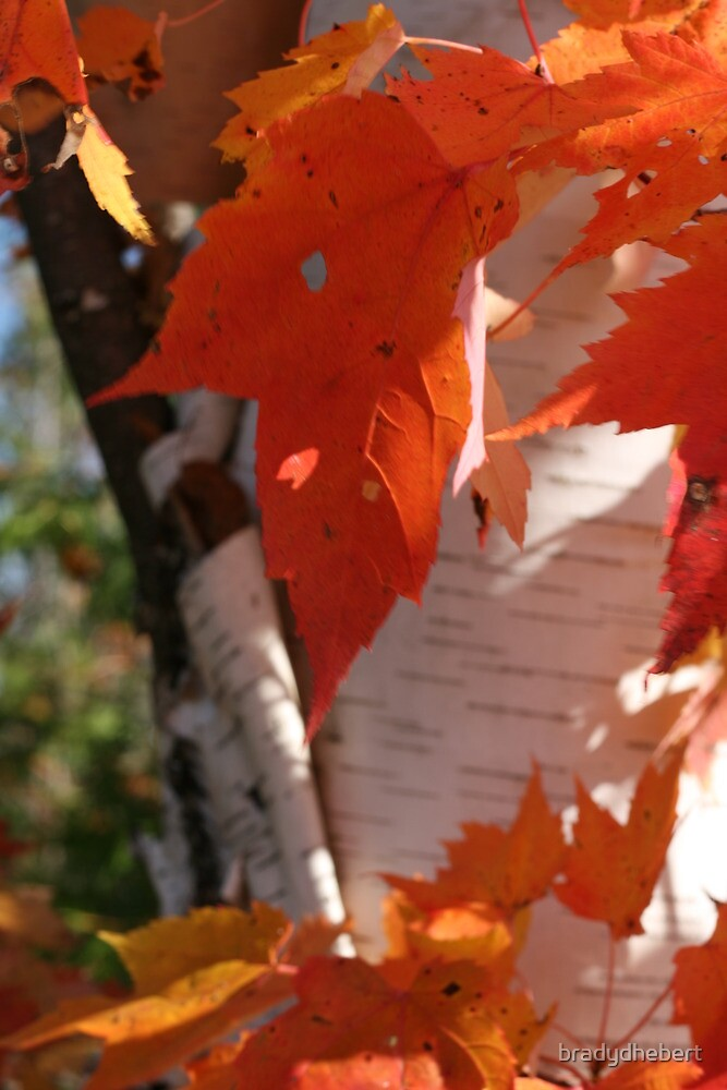 Autumn Leaves and Birch by bradydhebert