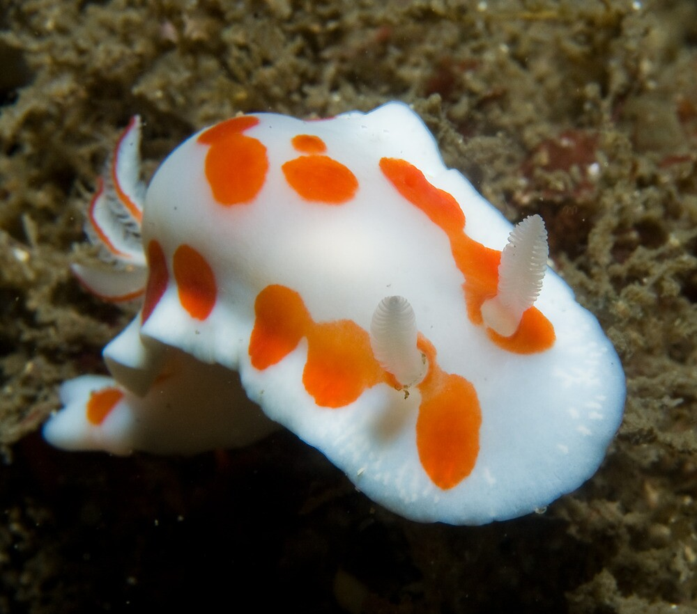 Nudibranch by George Borovskis