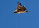 Martial Eagle Flight by Will Hore-Lacy