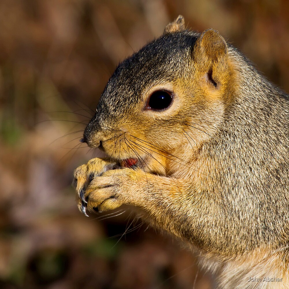 Squirrel Up Close And Personal by John Absher