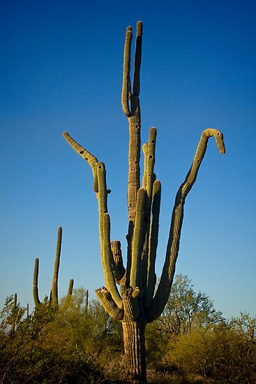 Saguaro Doing the Crane  by Bo Insogna