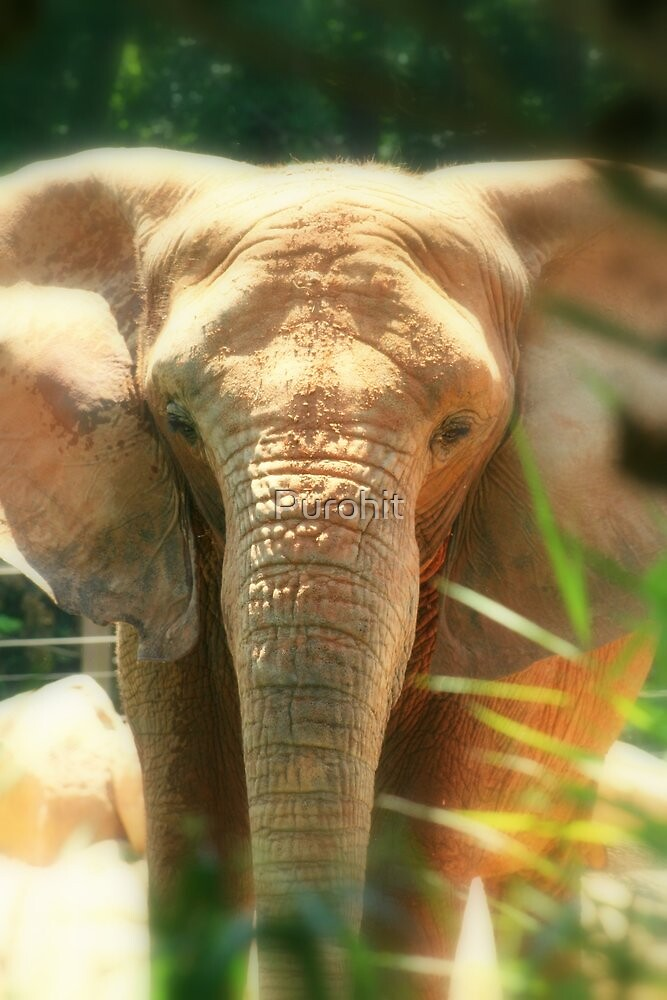 Baby Elephant by Purohit