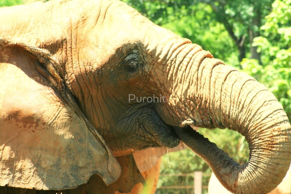 Thirsty Elephant by Purohit
