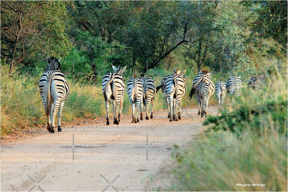 THIS IS THE WAY! - BURCHILLS ZEBRA - Equus burchelli  by Magriet Meintjes