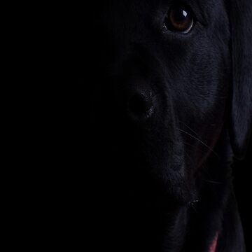 Black Lab by MrConkers