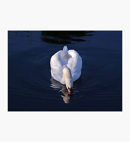 Peaceful White Swan Photographic Print