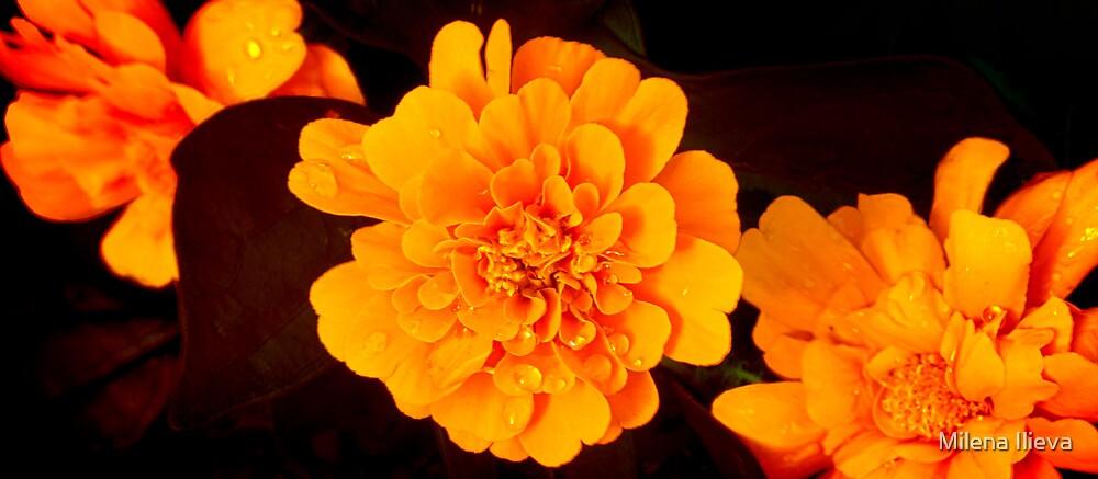Orange Beauty by Milena Ilieva