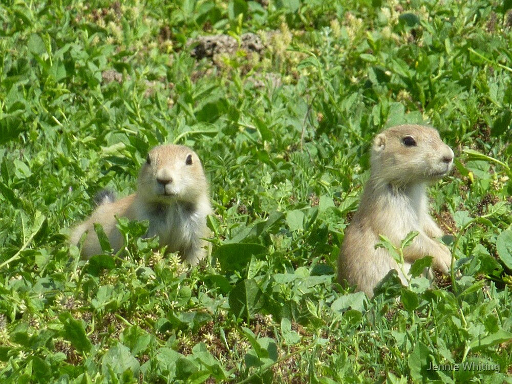 Prairie Dogs by Jennie Whiting