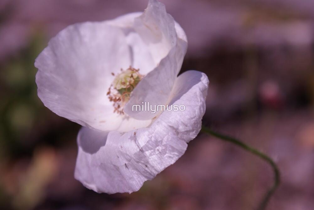 white poppy by millymuso