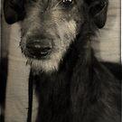 Scottish Deerhound by jodi payne