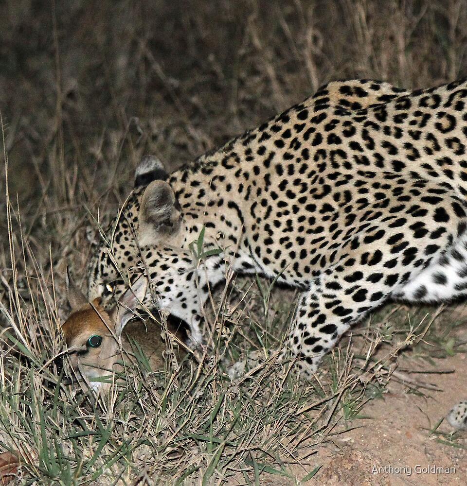 Leopard/duiker interaction 3(Gotcha !) by Anthony Goldman