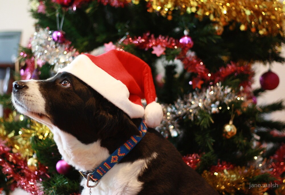 christmas collie 2 by jane walsh
