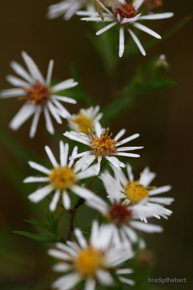 White Flowers by bradydhebert