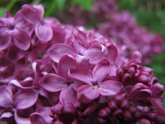 Lilac by Dagdrom