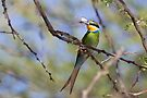 Swallow-tailed Bee-eater by Will Hore-Lacy