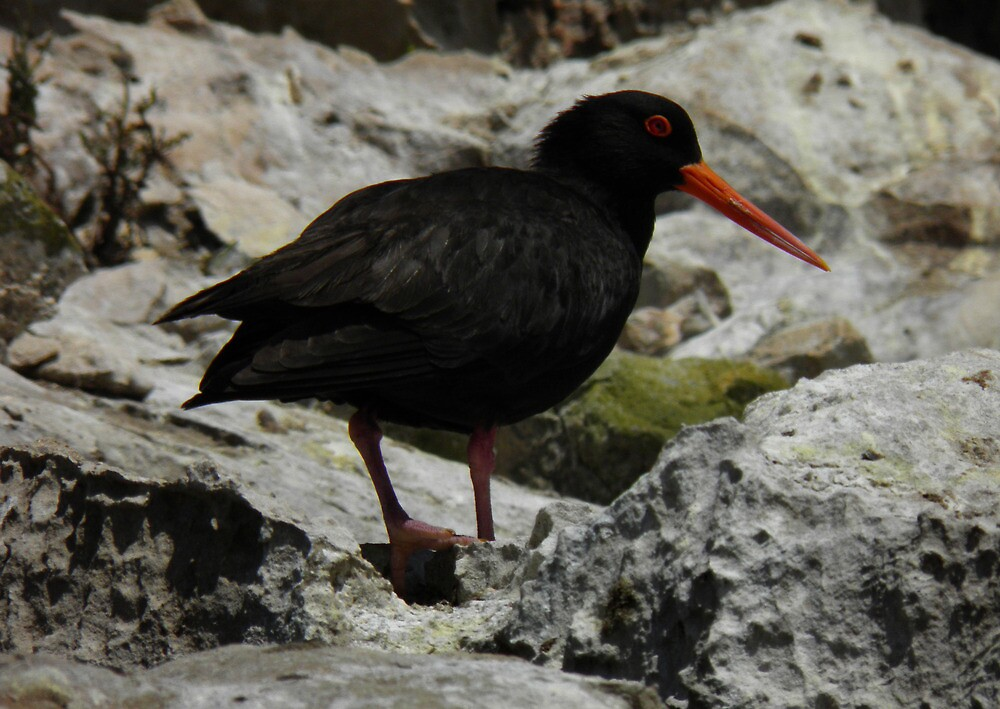 Sooty Oystercatcher (Haematopus fuliginosus) - Coffin Bay, South Australia by Dan Monceaux