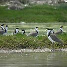 Masked Lapwings (Vanellus miles) - Coffin Bay, South Australia by Dan & Emma Monceaux