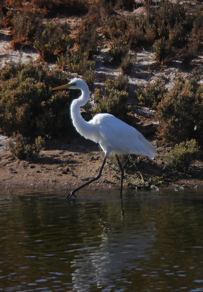 Yellow-billed Egret (Mesophoyx intermedia) - Whyalla, South Australia by Dan Monceaux