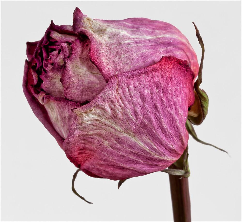 Dried Rose #3 by Robert Ullmann